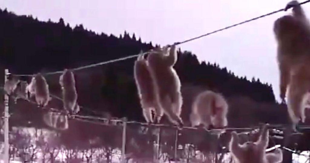 実家の母から「猿の大群が現れた」との連絡が!動画を見たら可愛い姿が映し出されていて話題に!