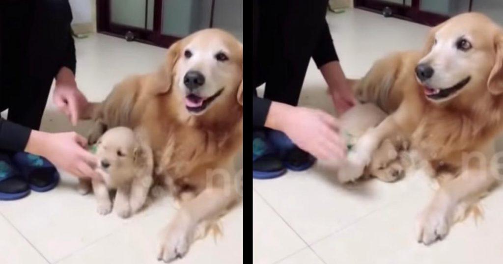 「誰にも渡さないよ!」ゴールデンレトリバーの子犬を連れて行こうとする男性。するとパパ犬が愛に溢れる行動に出て話題に!