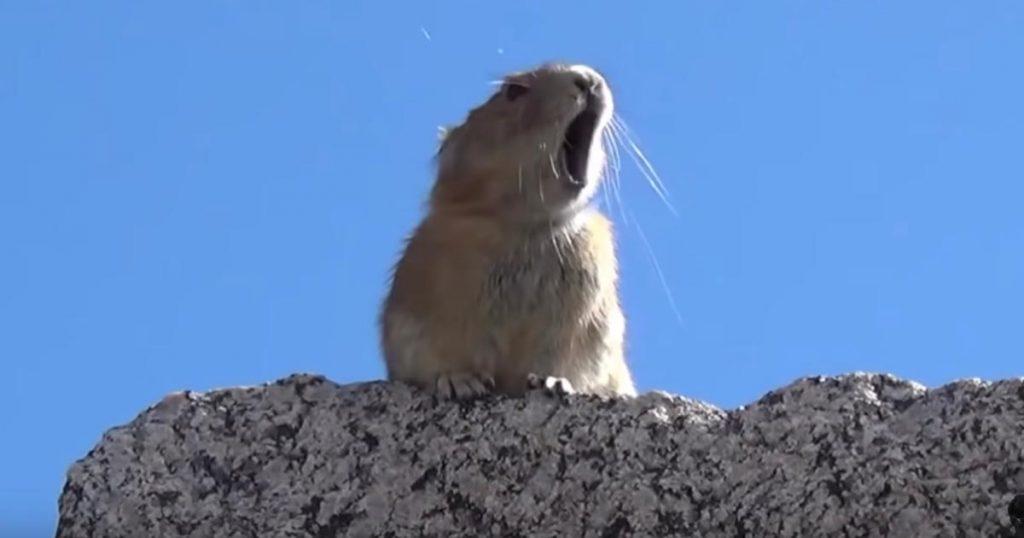 誰だこんなの作ったやつ笑 「ナキウサギ」がフレディ・マーキュリーの掛け声を完コピする動画が面白すぎると話題に笑「エーオ!エエエオ!」