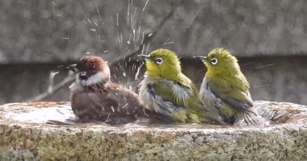 自分のことをメジロだと思っている?メジロたちが水浴びをしていたら、1羽のスズメが乱入!種を超えて仲良く水浴びする姿が可愛い!