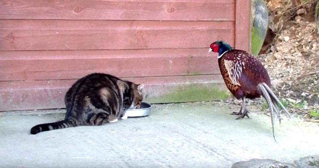 「お前が食べな」物欲しそうに猫のご飯を見つめるキジ。すると、猫が男気の溢れる行動に出た!