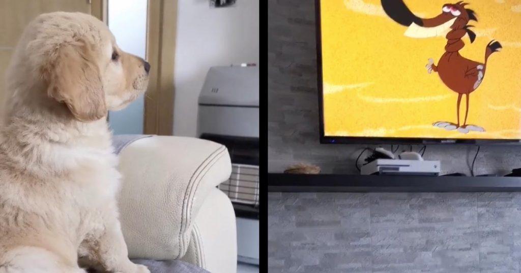 アニメに熱中しすぎたゴールデンレトリバーの子犬の行動が可愛すぎると話題に!