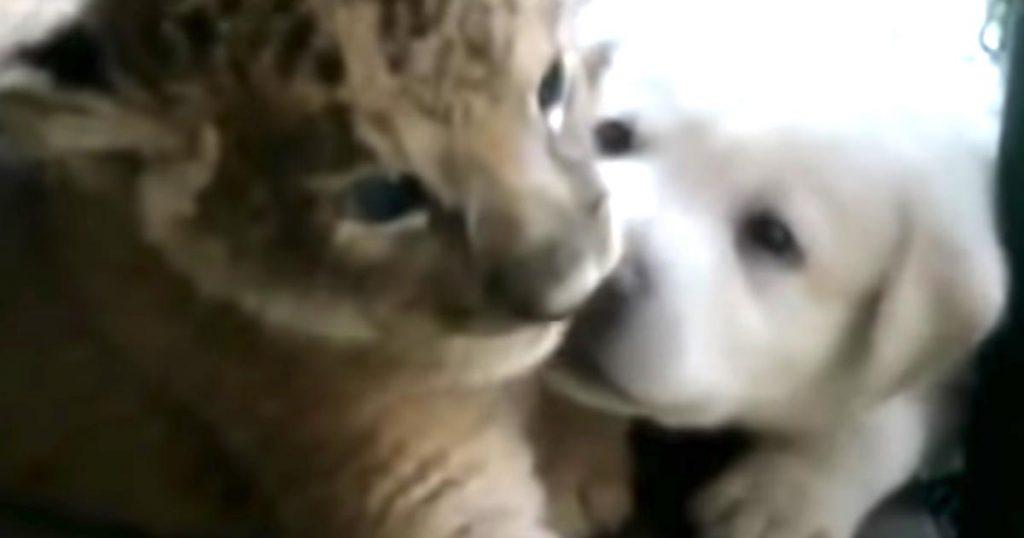 母親に育児拒否された子ライオン。苦肉の策で子犬の中に混ぜたら、最初は拒否していた母犬や子犬の態度が徐々に変わっていった!