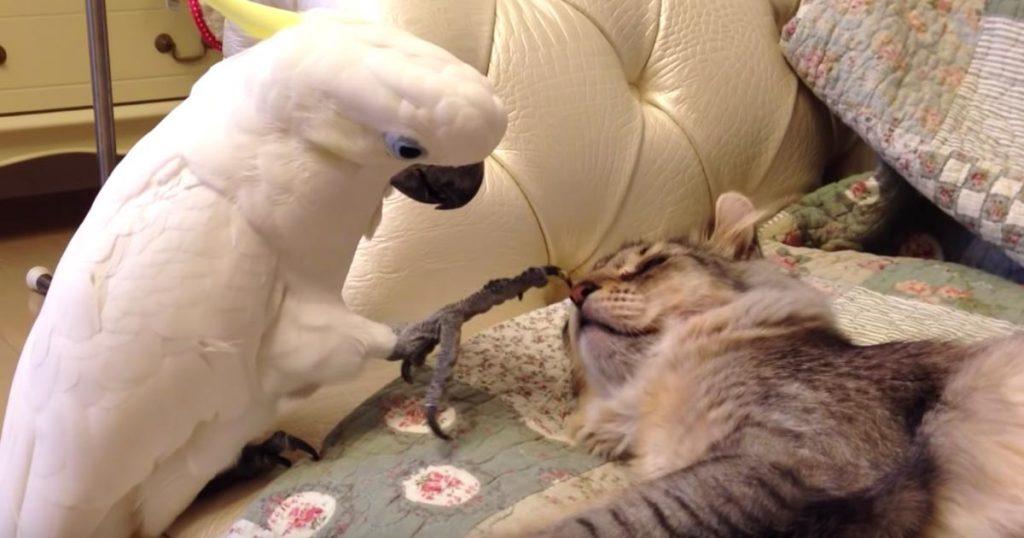 日本の、猫が寝ているスキにそっと唇を奪おうとするオウムの動画が海外で話題に! 気付かれた時のオウムのリアクションに爆笑!
