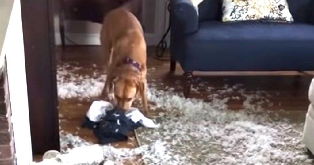 ここまでやらかしてしまった犬は見たこと無い、、犬のイタズラで広い家全体がヤバいことになってしまった動画が話題に笑