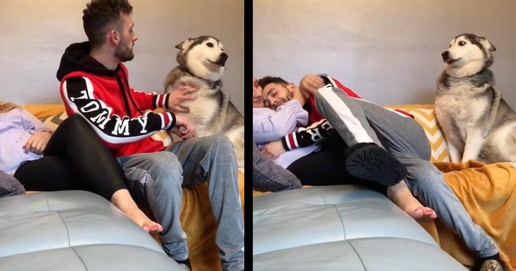 ガールフレンドと仲良くする飼い主さんを見て嫉妬したハスキー犬の行動が可愛すぎると話題に!ラストに癒される笑