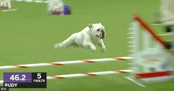 のんびり屋という印象のブルドッグ。しかしドッグショーの障害物コースに出場したブルドッグがあまりの俊敏さで世界中がびっくり!