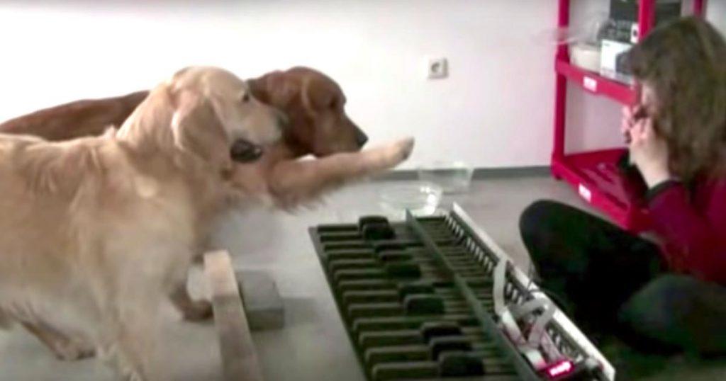 飼い主さんのオカリナに合わせ「猫ふんじゃった」を交互に演奏する2匹のゴールデンレトリバーが天才すぎる!