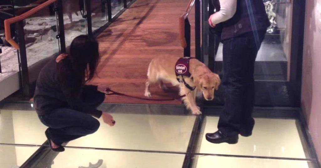 下が丸見えなガラスの床を目の前にした補助犬。怖すぎて考え出した最終手段が可愛いすぎると話題に!