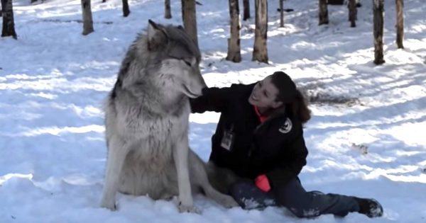 オオカミと深い信頼関係で結ばれた女性。キスをしたり、お腹を見せて甘えたり、まるで犬のような懐きっぷりにびっくり!