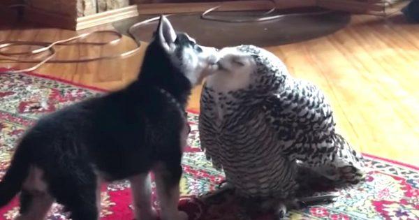 ラブラブなハスキー犬の子犬とフクロウの動画が見るだけで幸せな気分になれる!