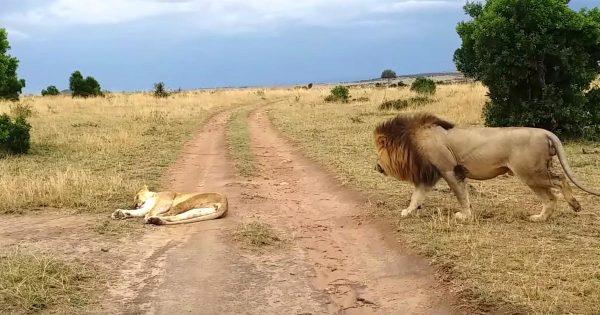 熟睡するメスライオンに忍び寄りイタズラをしたオスライオン。メスライオンの怒りを買い、気まずいことになってしまう様子が話題に笑