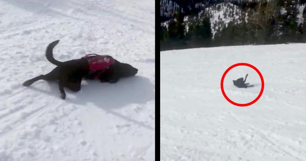 おーい!どこまで行くんだー!新しい遊びを覚えてしまった山岳救助犬。どこまでも滑り降りて行ってしまう笑