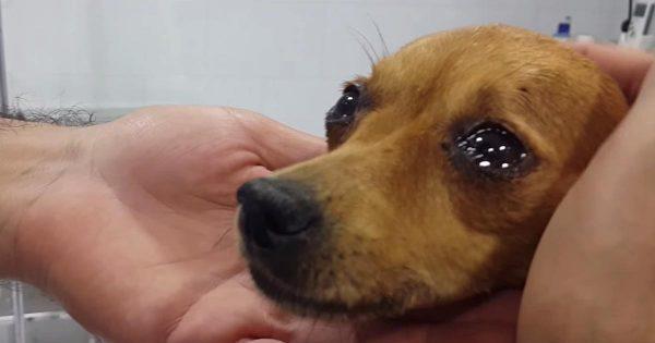 「助けてくれてありがとう」保護されたチワワ。30時間に及ぶ懸命な治療が終わると、安心したのか目を涙でいっぱいにした