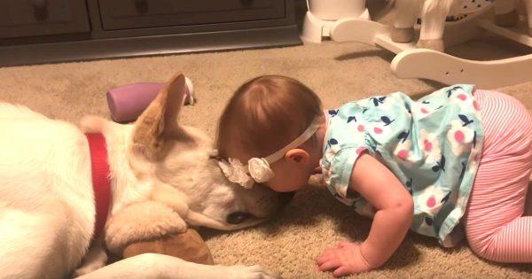 しつこくチューしてくる赤ちゃんを鬱陶しがっていた犬。しかし、赤ちゃんが諦めかけた時、最高のお返しをしてくれて赤ちゃん大喜び!