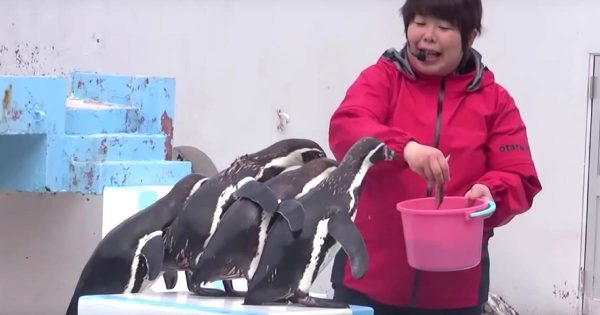 自由すぎる!トレーナーの言うことを全く聞かないペンギンたちのショーがカオスすぎる笑
