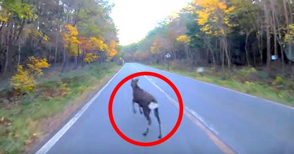 富士スバルラインを走行中に急に飛び出してきた鹿。しかし、ホンダの自動ブレーキが最高のパフォーマンスを発揮!