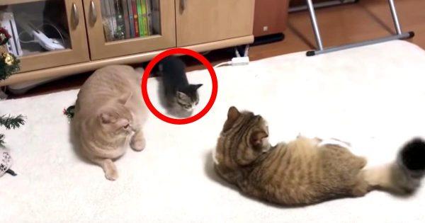 ケンカの仲裁に入る子猫が可愛すぎると話題に!あまりにも健気な子猫の行動に、大人猫たちも癒される^^