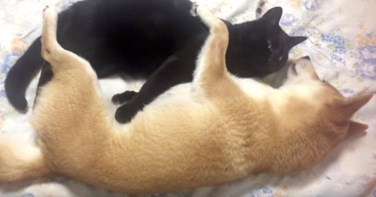 「これが本当のリア獣か」相思相愛の柴犬と猫が可愛すぎ!愛が強すぎてスゴい態勢になってしまう笑