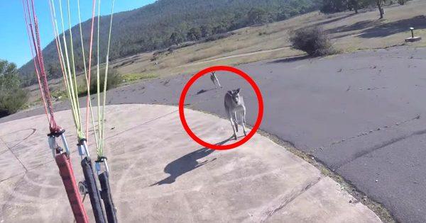 パラグライダーで着陸した瞬間、カンガルーが駆け寄って来て大変なことになってしまう動画が話題に笑