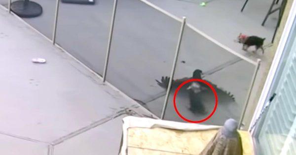 小さなワンちゃんを連れ去ろうとした鷹。家族の女性が危機一髪で助け出す様子が防犯カメラに映る!
