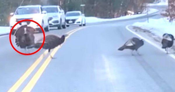 「本物の紳士だ」仲間たちが道路を安全に渡れるように交通整理する七面鳥のボスがイケメンすぎると話題に!