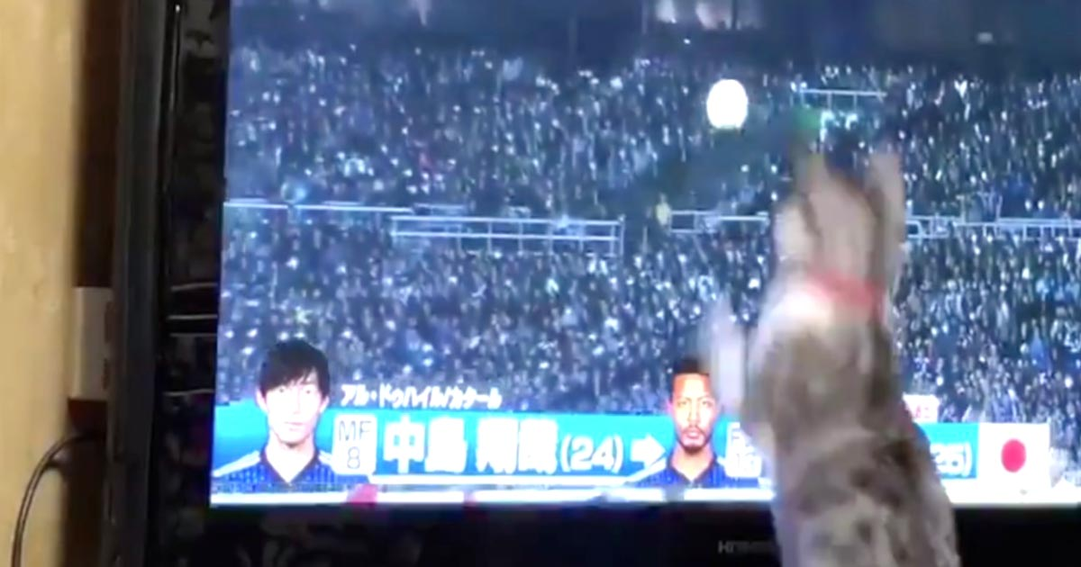 「ぜひ日本代表に!」テレビでサッカーを見ていた猫がナイスセーブしたと話題に!
