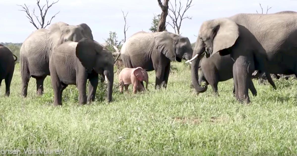 ディズニー映画に出てきそうな、ピンクの赤ちゃんゾウが野生で発見され話題に!
