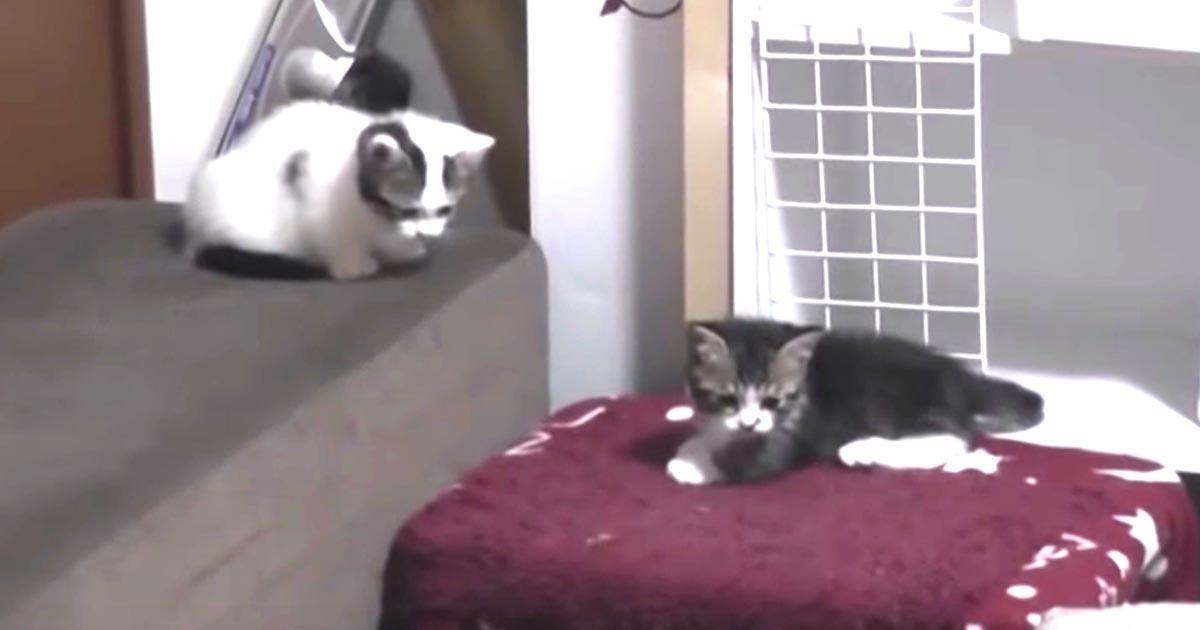 「え?!パパ何やってるの。。」ケンカをしていた子猫たち。しかしパパ猫の子供じみた行動を見て唖然!ケンカどころではなくなってしまう笑