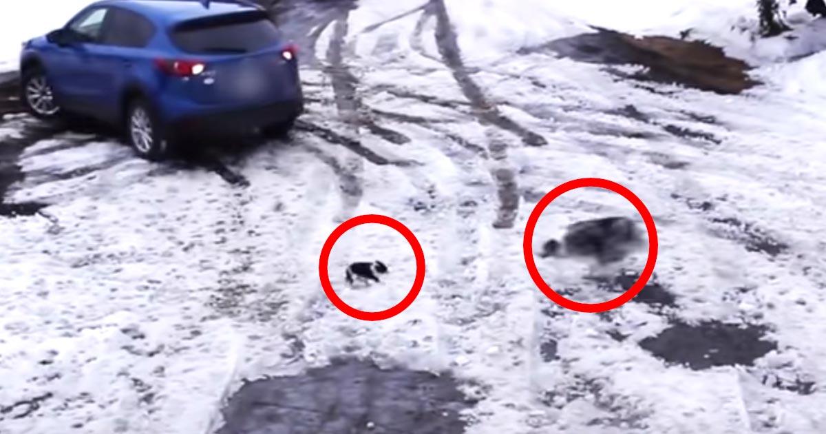 【鳥肌】車にひかれそうなチワワを全速力で助けたボーダーコリーの行動がかっこよすぎる!まさにスーパードッグ!
