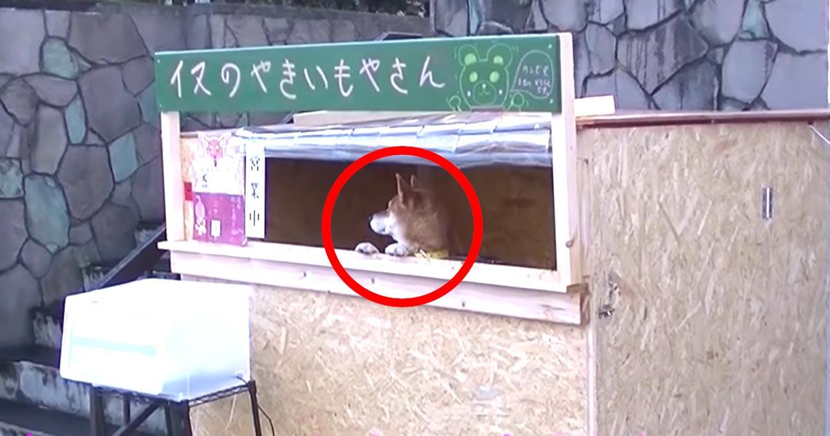 犬の焼き芋屋さんが「癒される」「可愛すぎる」と話題に!人材不足の世の中に貢献!