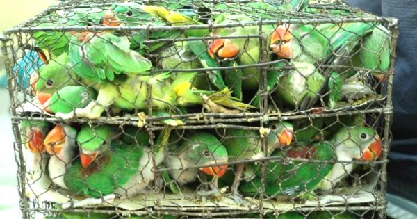 小さなケージに詰められた550羽の野生の鳥がヒーローによって救出される!