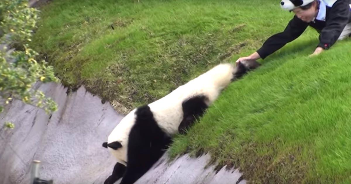 「下行くのー!」飼育員さんの制止を振り切ってお堀に降りたパンダの赤ちゃん。しかしすぐに「助けてー」と泣きついてくる姿が可愛すぎる笑