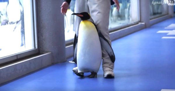 【和歌山】「まだ帰らない!」とダダをこねるペンギンが超可愛い!「抵抗ペンギン」と言われる笑