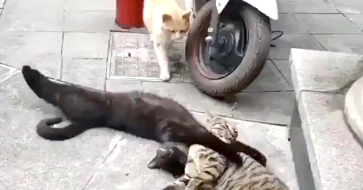 他の猫とのイチャイチャ浮気現場を見られてしまった猫。それぞれの反応が人間臭すぎて面白すぎると話題に!