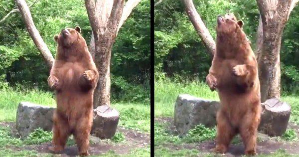 「絶対中に人が入ってる」富士サファリパークの熊がノリノリでダンスしていたと話題に!