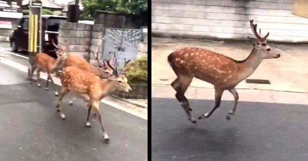 すごい勢いで美味しいエサ場(奈良女子大)に走って来たのに、門が開いてなかった鹿たちのリアクションが可愛すぎると話題に笑