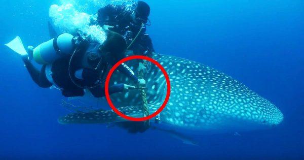 石垣島でロープに絡まったジンベエザメをダイバーたちが力を合わせ救出!日本ではレアな救助動画が話題に!