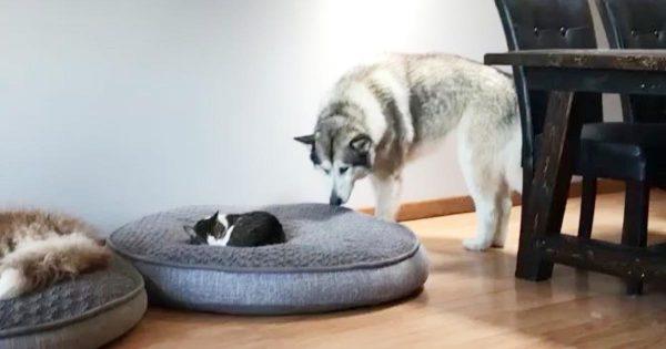 「あのー、そこ私の席なんですけど、、」猫に自分のベッドを占領されてしまったアラスカン・マラミュートの行動が可愛すぎると話題に笑