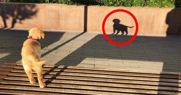 「君は誰?!」自分の影を他の犬だと思ったゴールデンレトリバーの子犬の反応が可愛すぎると話題に!
