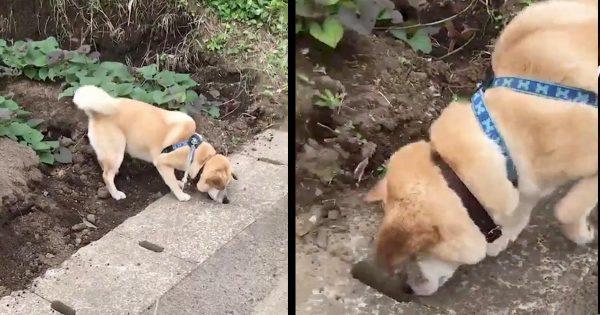 排水溝の穴の中に興味津々の犬。すると、小さな動物がひょっこり出てきて可愛すぎたと話題に!