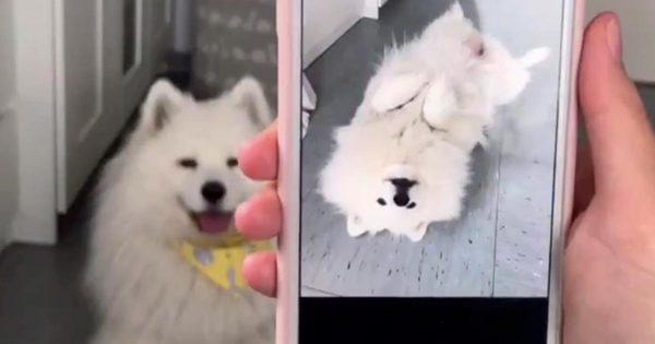 写真を見せると写真のマネをする白熊みたいなサモエド犬が超可愛い!