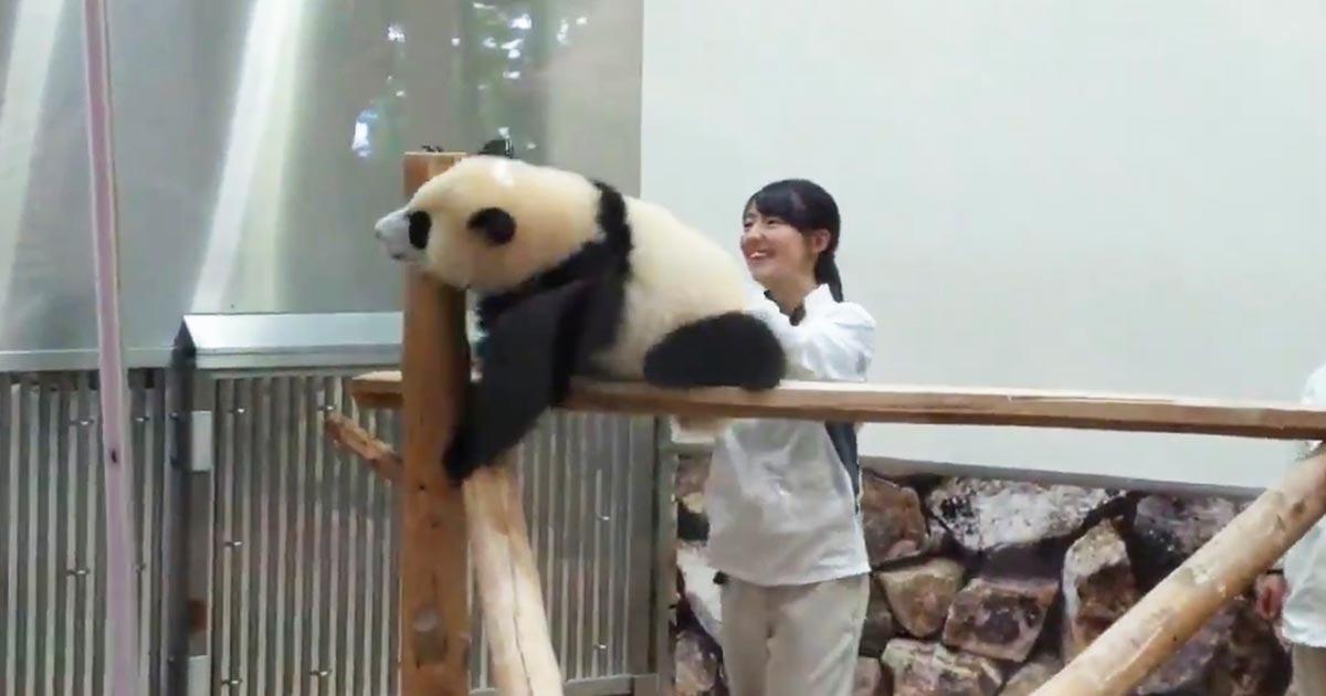 まだ帰りたくない赤ちゃんパンダと飼育員さんの攻防が癒されると話題に!最後はコントみたいになってしまう笑「酔っ払いのおじさんの回収に見える」