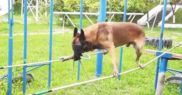 目隠しで超高難度のトレーニングに励む警察犬が凄すぎると話題に!