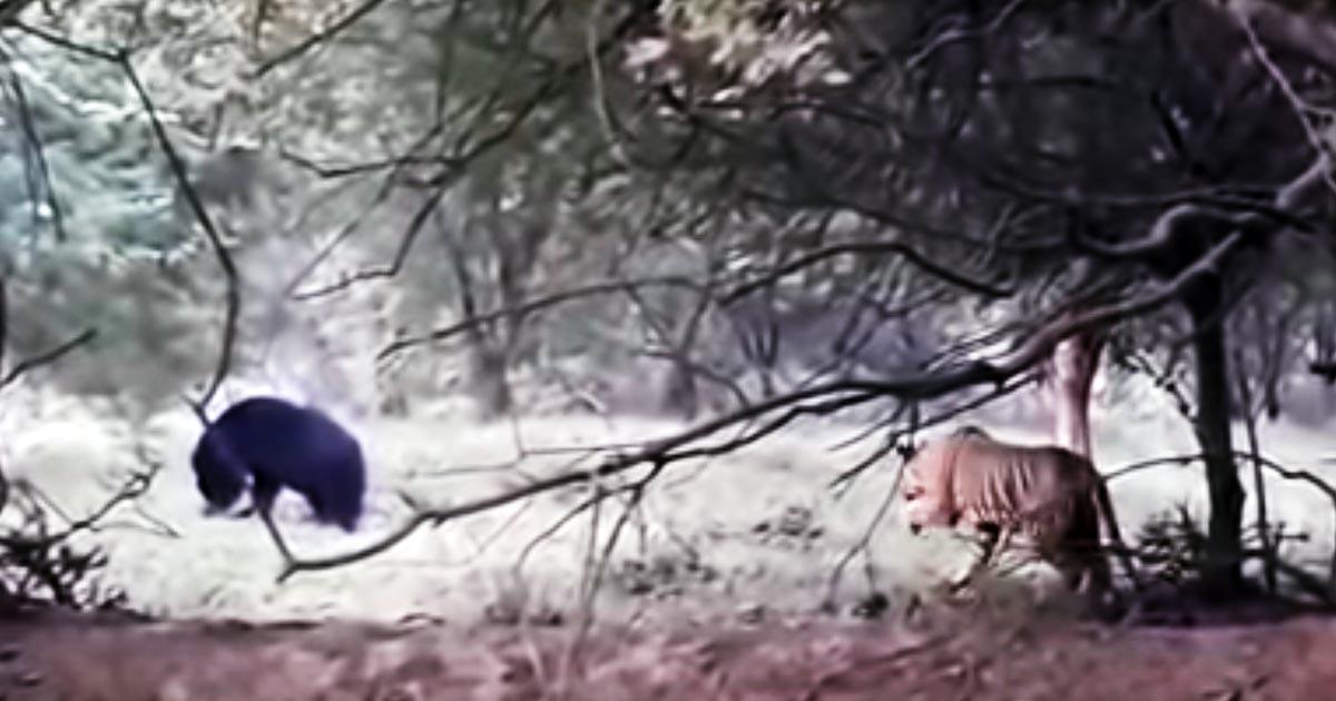自然界のレアな瞬間!熊に忍び寄りイタズラを仕掛ける野生のトラが話題に!