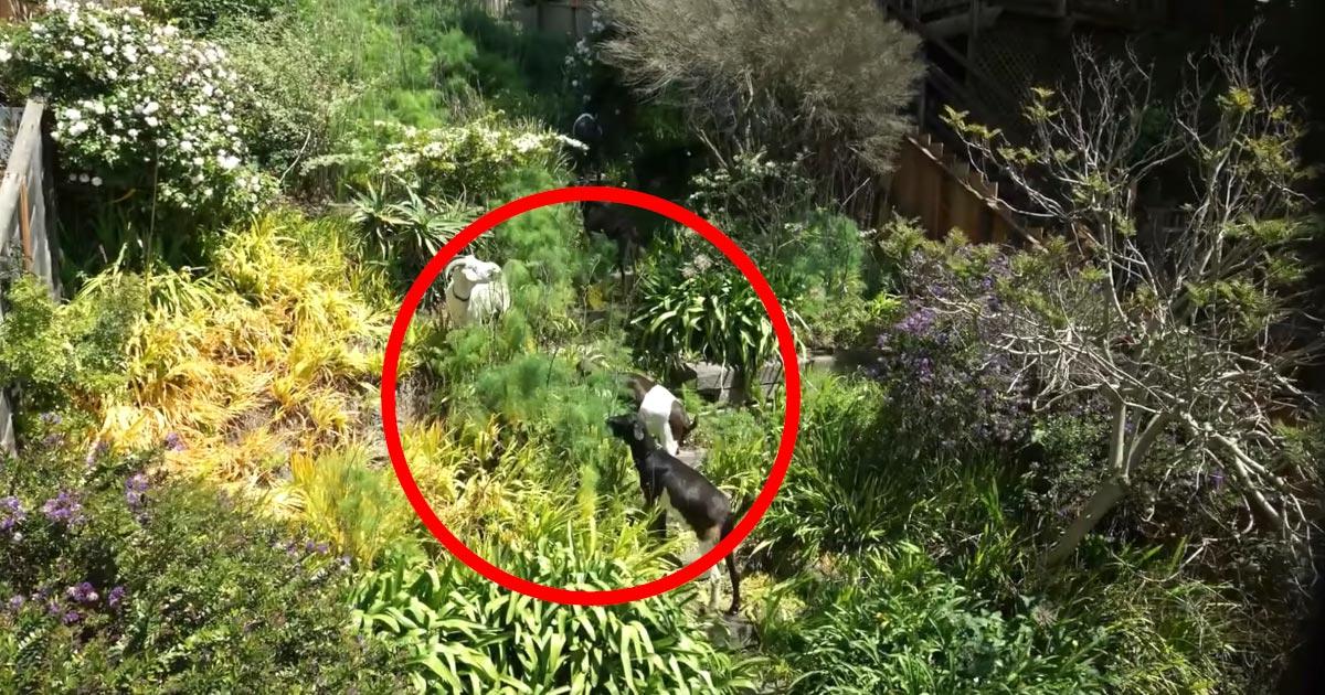 荒れ放題の庭に数匹のヤギを放ったら、たった数日で綺麗に雑草だけ無くなってしまった!
