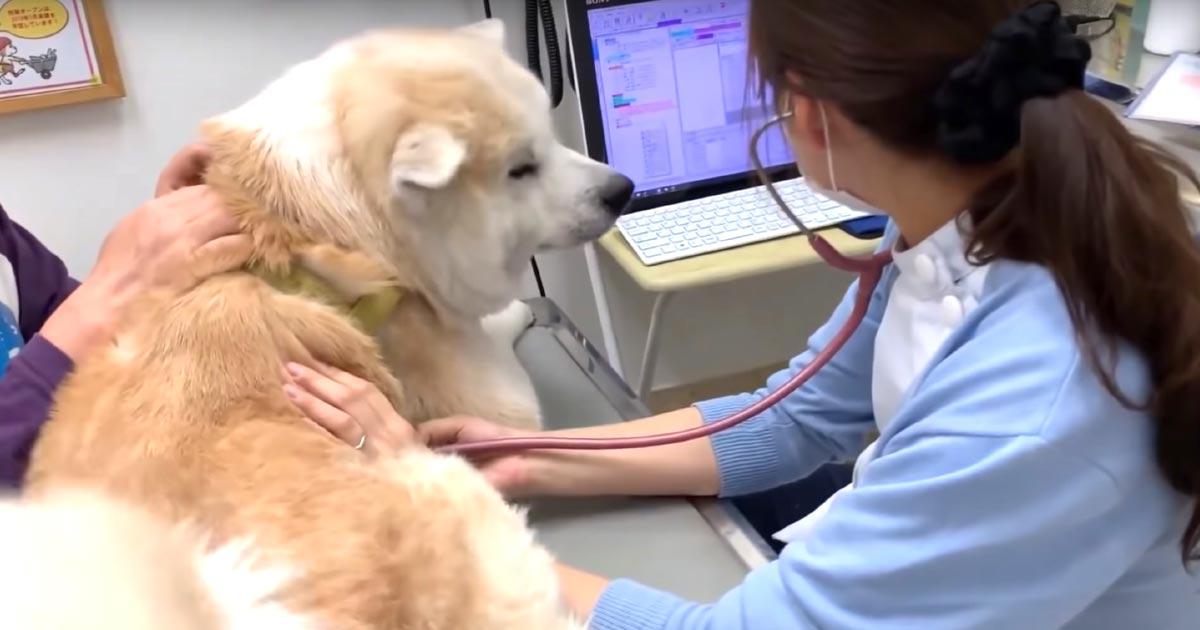 病院にきた秋田犬がまさかの大喜び!綺麗な女医さんに恋する秋田犬が可愛すぎ!