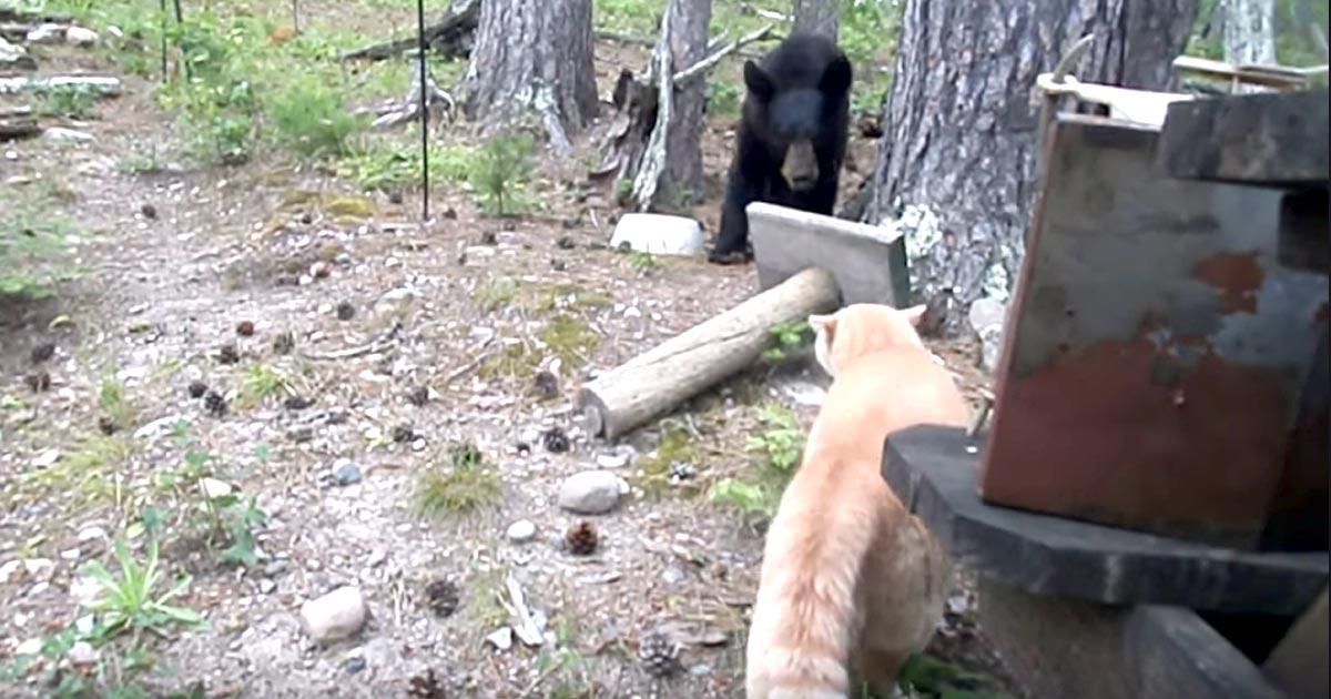 すごい貫禄で熊を威嚇する猫。一発で恐れをなした熊は木に逃げ登る!