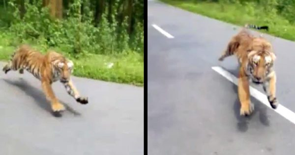 【鳥肌】バイクで走行中、野生のトラが猛スピードで追いかけて来た動画が話題に!あまりの速度にビビる!