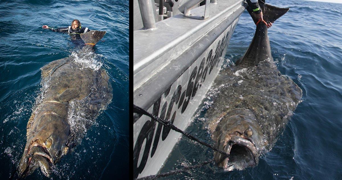 ノルウェーで世界最大級の「巨大カレイ」が釣り上げられ話題に!あまりの大きさに息を飲む!